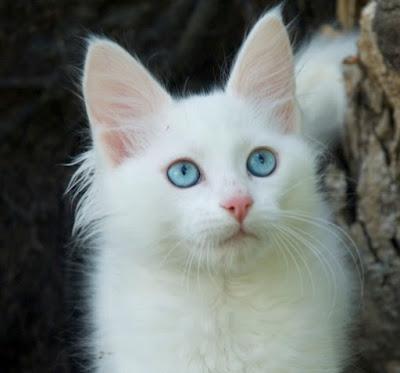 telinga kucing anggora ini ciri ciri nya