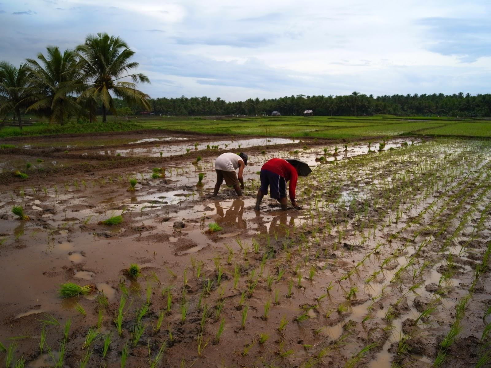 Planting Rice | Carabao Musings  Planting Rice |...