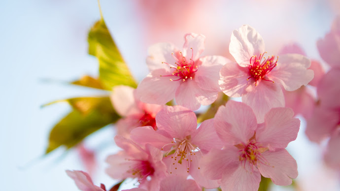 Wallpaper: Cherry Pink Flowers