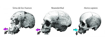 Study differentiates facial growth in Neanderthals and modern humans