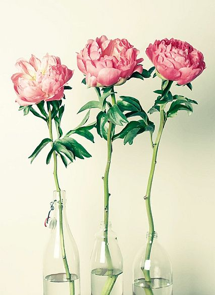 beautiful pink peonies in bottles