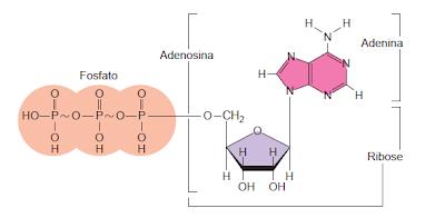 Formula estrutural do Trifosfato de adenosina (ATP)