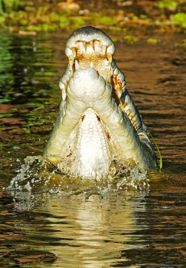 Salt water Crocodile - Kakadu National Park, Australia