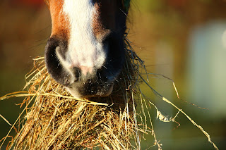 A bay horse's nose while eating a mouthful of hay
