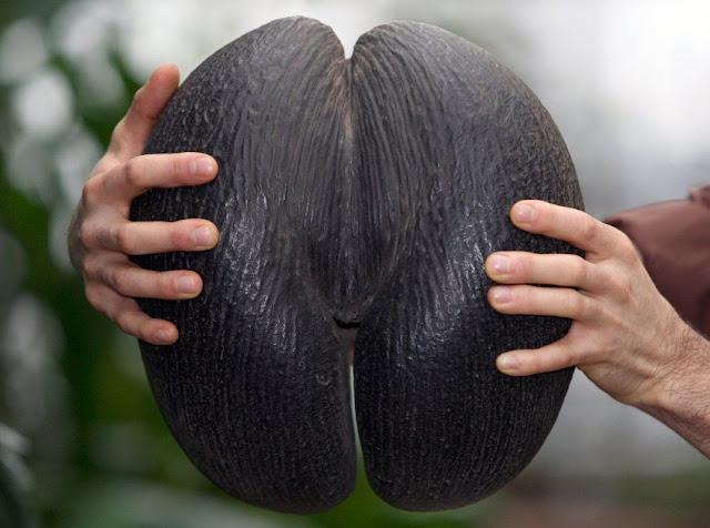 Qual é a maior semente do mundo?  Maior%2Bsemente%2Bdo%2Bmundo%2B01