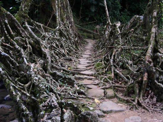 The Amazing Phenomena Of Living bridges in India