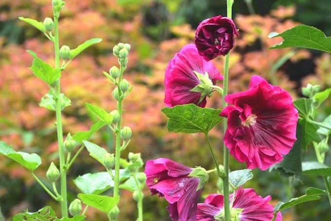 Hatmi Çiçeği Nerede Yetişir! Sağlığımıza Faydası Var mıdır!