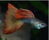 Jenis  Ikan Guppy Lace Tail