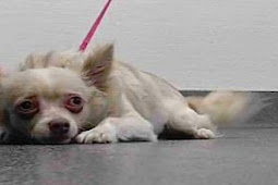 """His kennel card is labeled """"caution"""" and he knows, He has given up ready to die.."""
