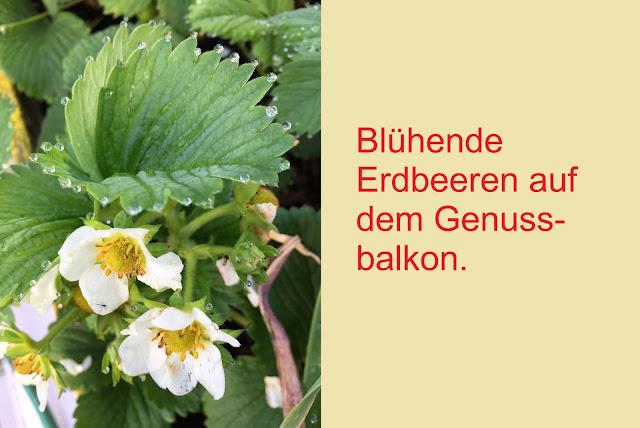 Blühende Erdbeeren