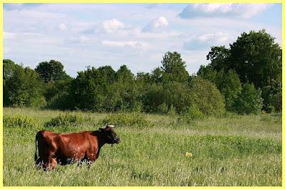 Vaca letona