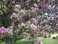 blossoming crabapple tree
