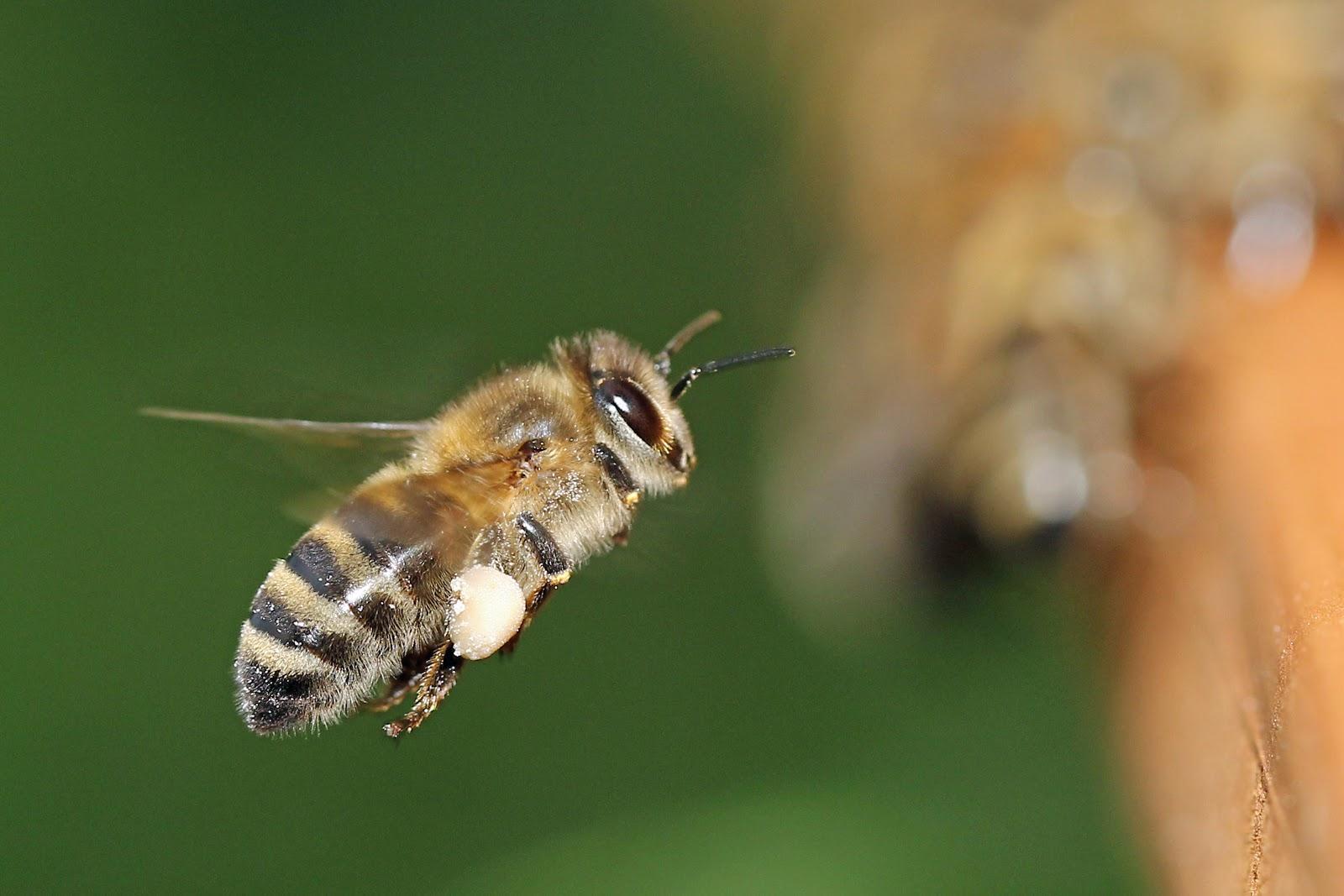 飛翔する一匹の蜜蜂