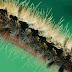 Penawar Racun Ulat Bulu (Paling Manjur)