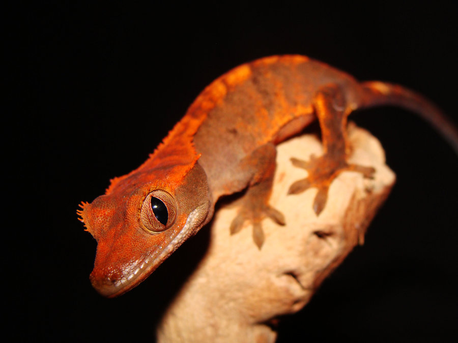 The Gecko Zone : The Crested Gecko
