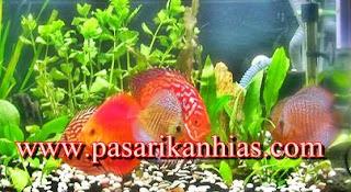 Pasar Ikan Hias Air Tawar Parung