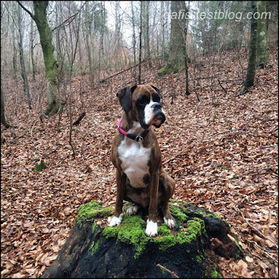 Boxer Amy im Wald