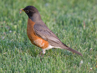 Photo of a Robin Finding Worms in the Grass