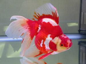 El blog de don peppino el origen de los gold fish for Criadero de peces goldfish