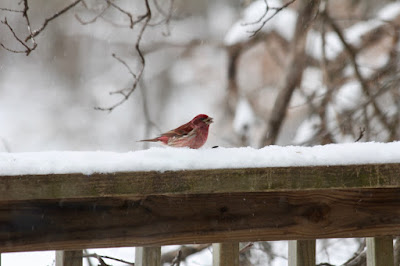 purple finch on snow-covered railing, mid April