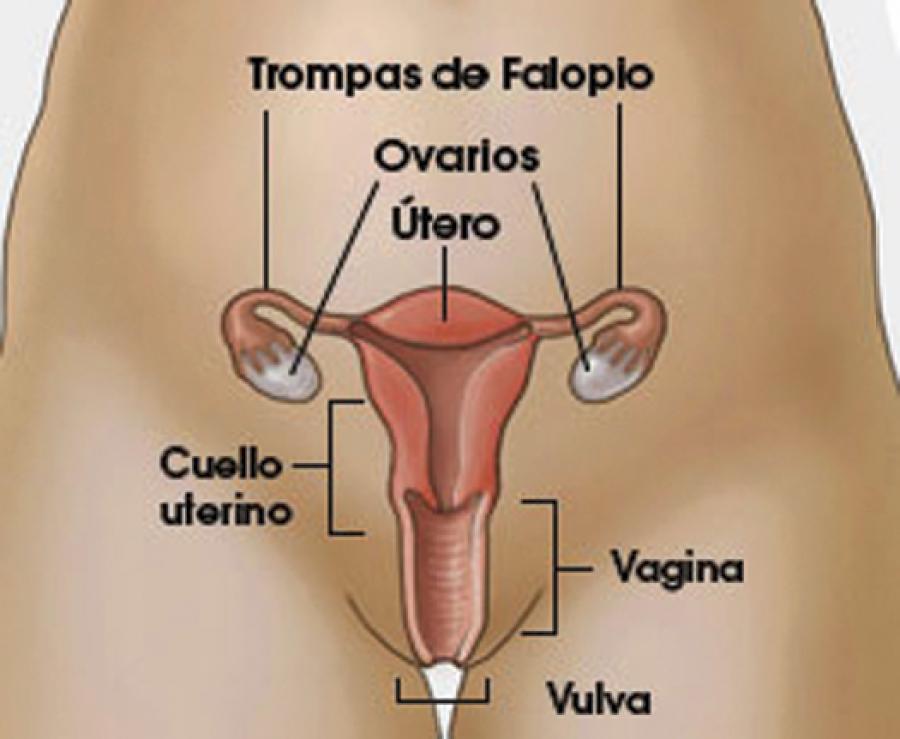 Sexualidad Humana: Anatomía y fisiología de los órganos sexuales ...