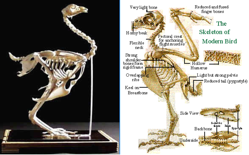 Anatomy And Physiology Of Chicken together with Ipug153 Femoral Triangle as well Internal Urinary Sphincter Urinary Incontinence Williams Gynecology 3e Accessmedicine likewise 57590 as well Choroidal Vessel Wall Hypercholesterolaemia Induced Dysfunction And Potential Role Of Statins. on in anatomy and physiology arteries
