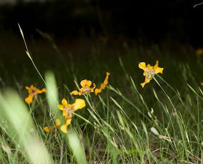 Iris Cypella herbertii