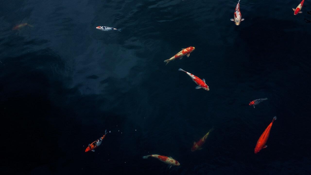Ikan Pemakan Lumut | Membersihkan Kolam Tanpa Repot