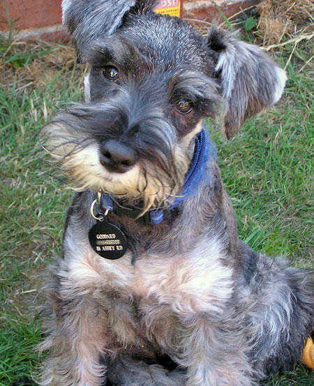 Miniature Schnauzer Dog Breeding