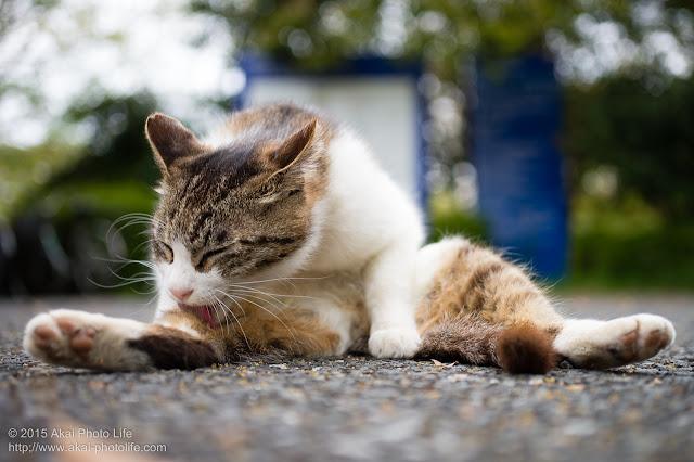 ぺたんと座り込んで毛繕いしている可愛い猫