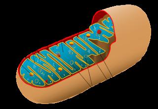 disfunzione erettile dellacetil carnitina