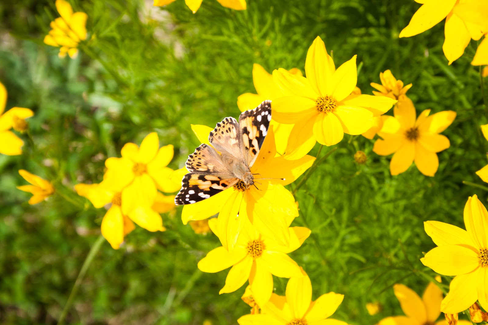 8 Dog Friendly Plants That Attract Butterflies Pawsitively Pets