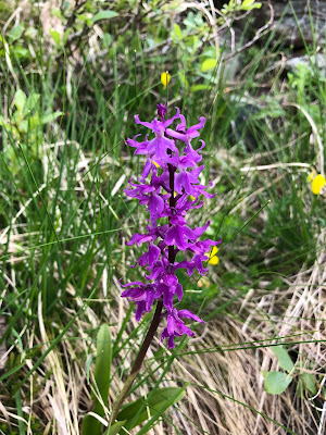 [Orchidaceae] Orchis mascula – Early Purple Orchid (Orchide maschio).