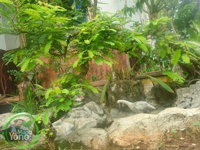Bonsai Asem Jawa depan rumah Admin