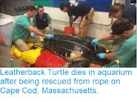 https://sciencythoughts.blogspot.com/2018/11/leatherback-turtle-dies-in-aquarium.html