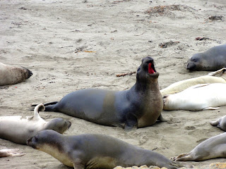 Elephant Seal Vista Sam Simeon