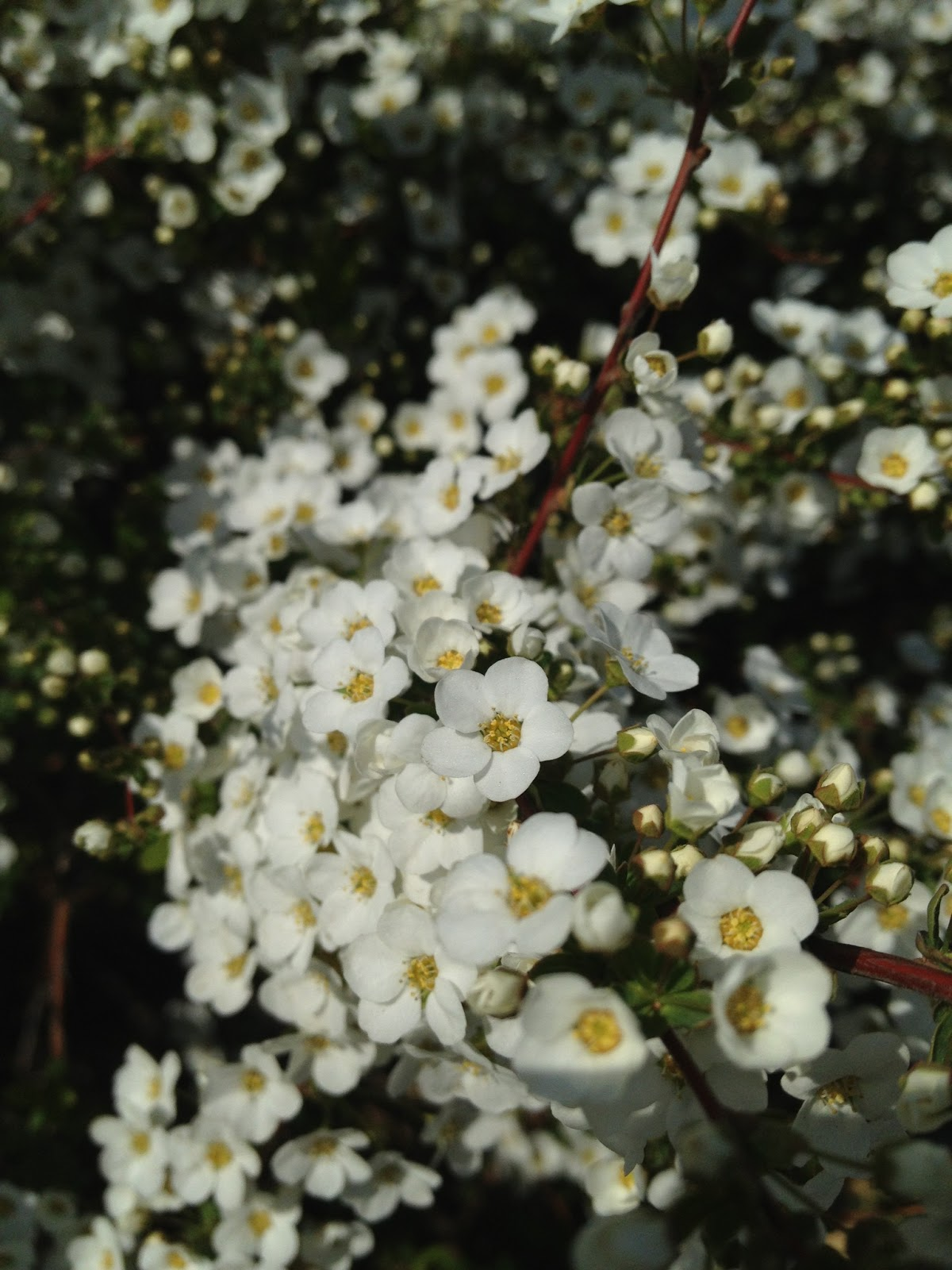 Marketing japan beautiful flowers in japans springtime a bush splashes out tiny white flowers alongside tamagawa river mightylinksfo