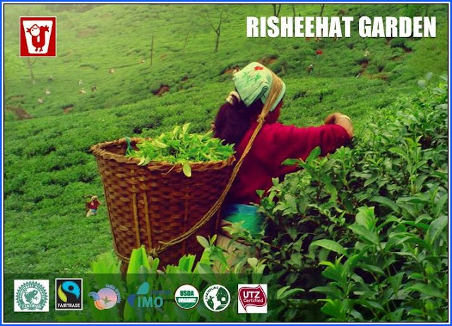 Risheehat Tea Estate Darjeeling