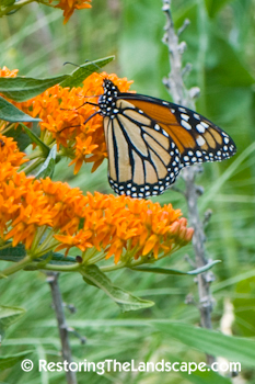 Restoring The Landscape With Native Plants: Milkweed Pollination - A