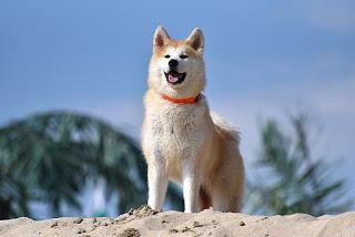 Akita-dog-dog breeds-pet