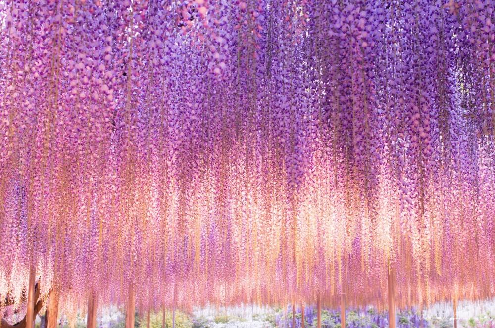 Conheça as plantas que transformam as cores do céu no Ashikaga Flowe Park  no japão 425be8b89e2ac