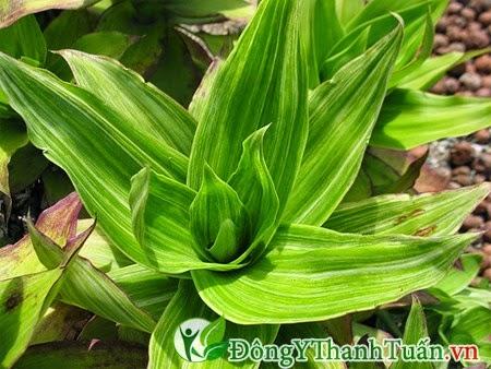 Bài thuốc dân gian chữa bệnh đau lưng từ cây lược vàng