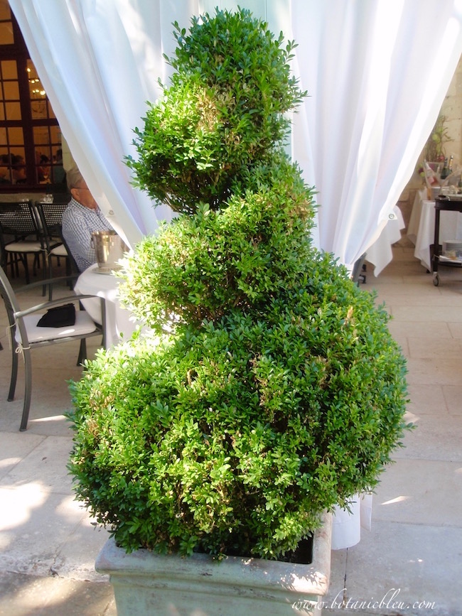 french-design-boxwood-spiral-topiary-chenonceau