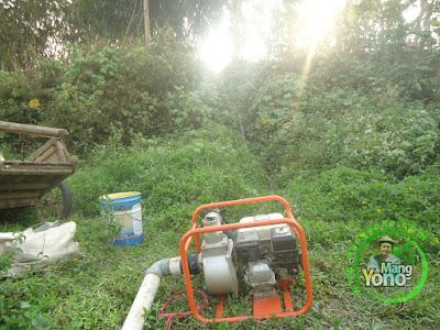 FOTO 5 : Pompanisasi Tanaman Padi TRISAKTI di Lahan Gogorancah