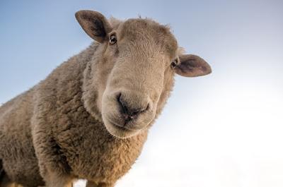 sheep, wool, yarn