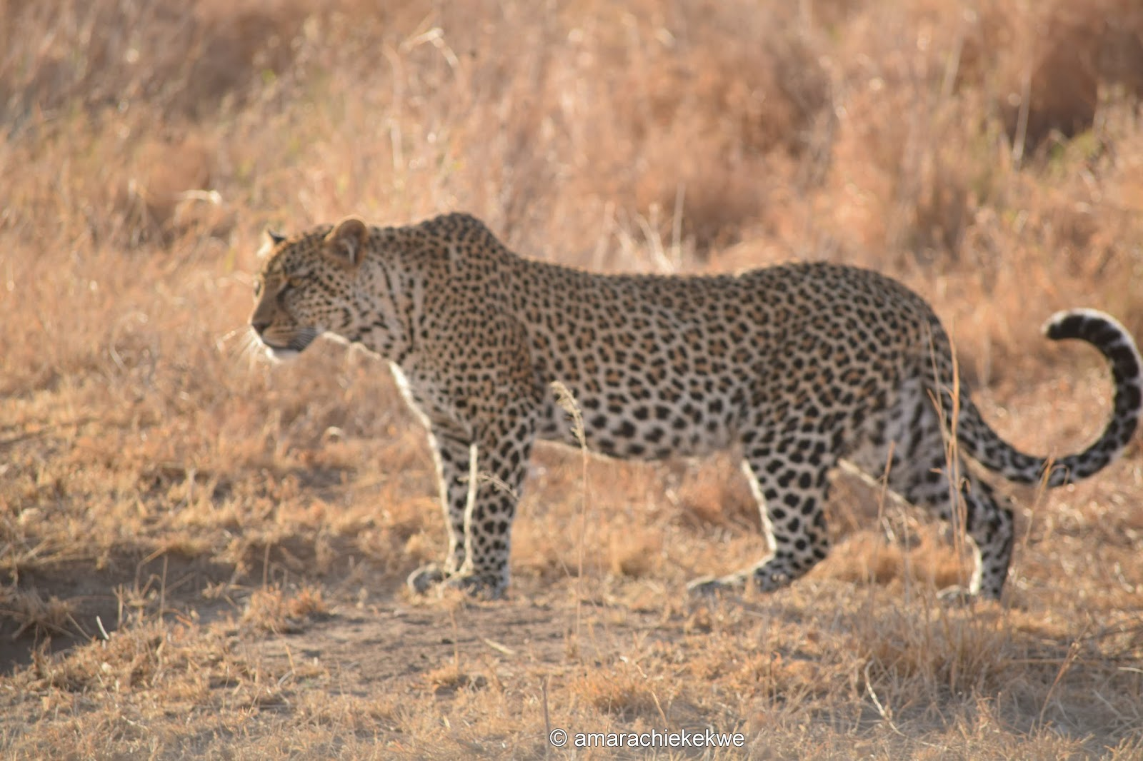https://i0.wp.com/4.bp.blogspot.com/-vMIOV-qHZAY/V9rSSOcpnwI/AAAAAAAAVMw/KwEdxDa_gHkiUxFbEtHXEULBi7KYnJZgACPcB/s1600/leopard.jpg?resize=930%2C620&ssl=1