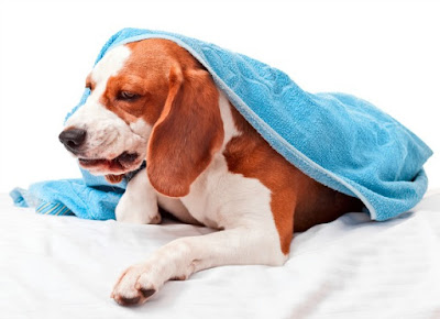 Can I Give My Dog The Flu?
