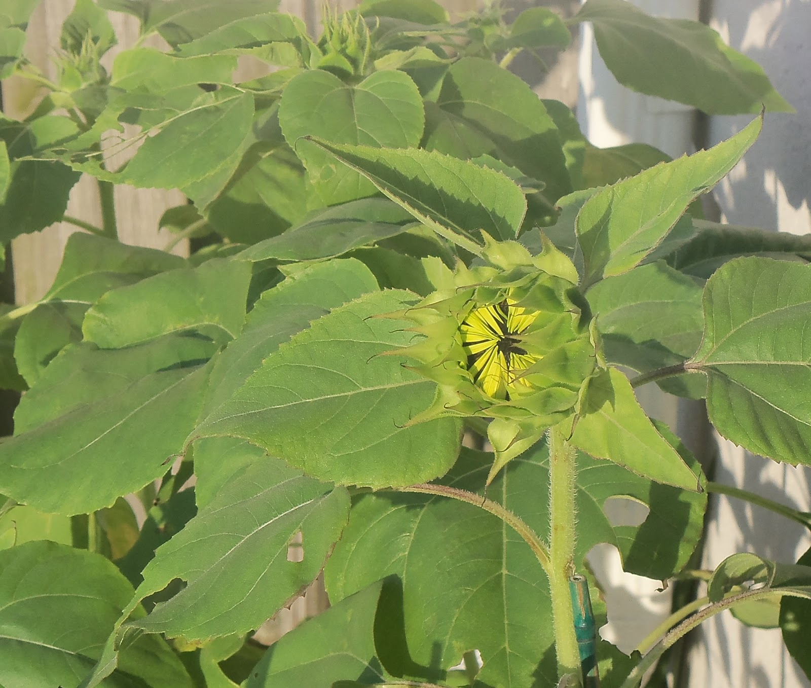 Helianthus annuus (Sunflower)  |Sunflower Bud