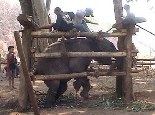 Anak Gajah Dipisahkan Dari Ibunya Secara Paksa dan Didera