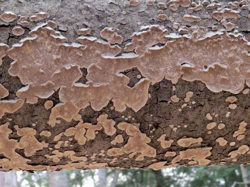 fungus on birch tree